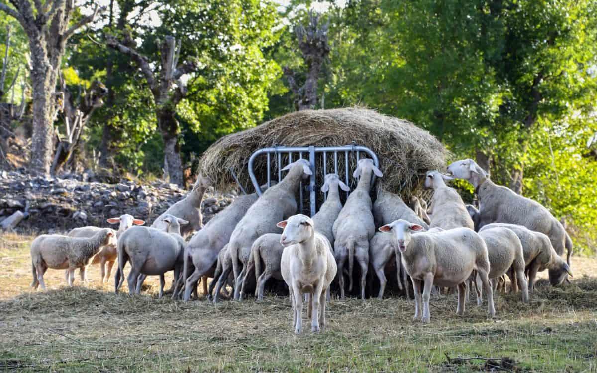 скот, трава, животных, природа, сельское хозяйство, сельской местности, овцы