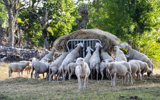 livestock, grass, animal, nature, agriculture, countryside, sheep