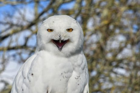 wildlife, bird, white owl, nature, tree, animal, outdoor