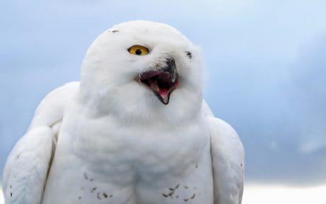 бели сова, природа, птица, клюн, око, бял, перо, дивата природа