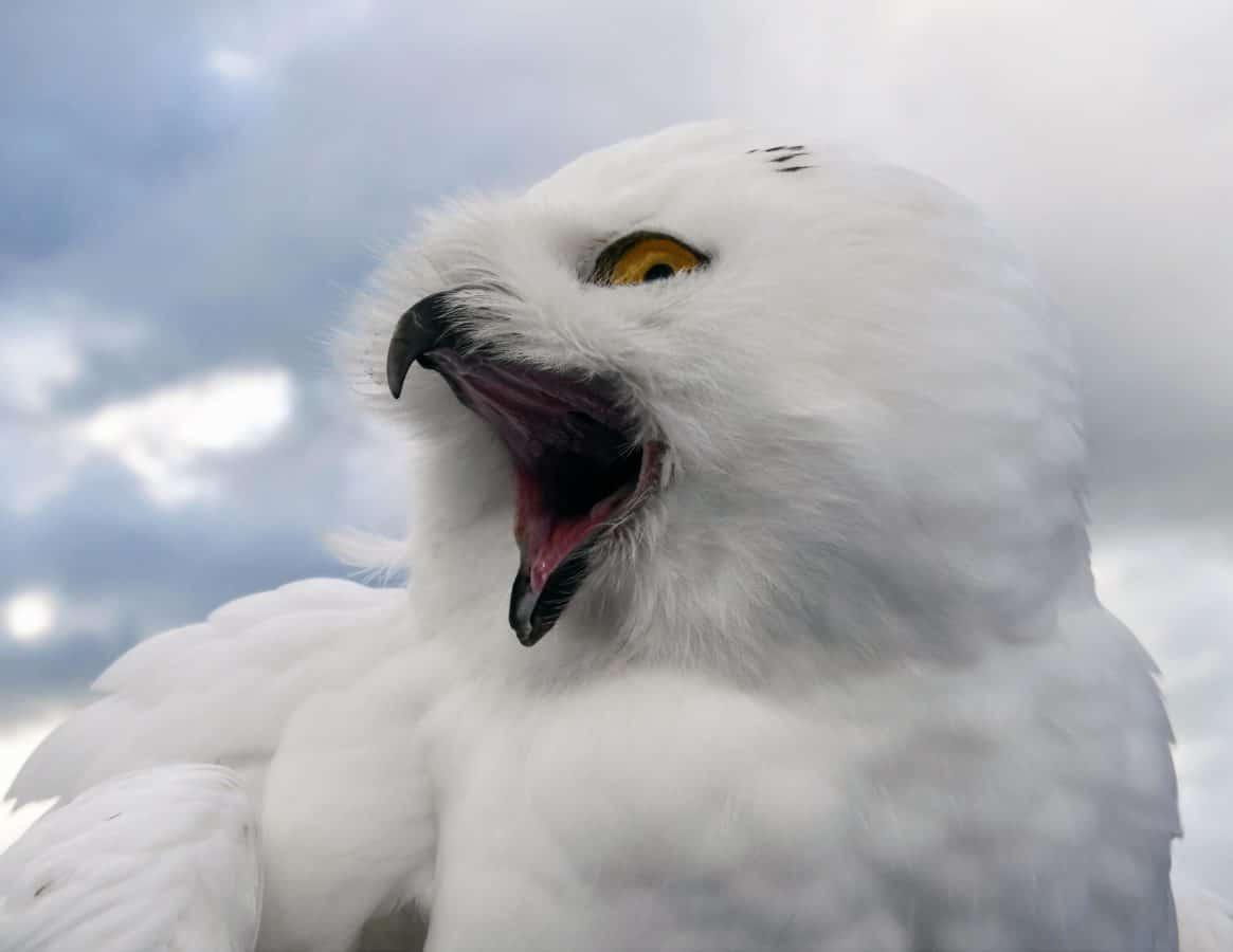 oiseau, bec, yeux, plume, la faune, Hibou Blanc, nature