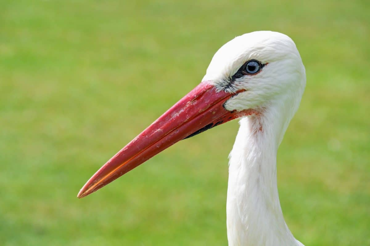 White stork, vida silvestre, pico rojo, pájaro, salvaje, naturaleza, animal