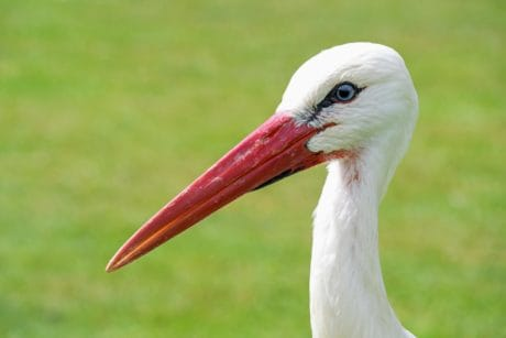 white stork, wildlife, red beak, bird, wild, nature, animal