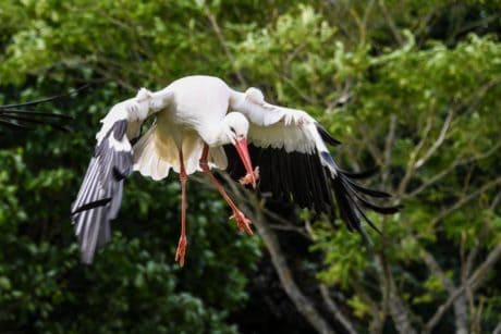white stork, flight, animal, wild, wildlife, bird, nature, beak, feather
