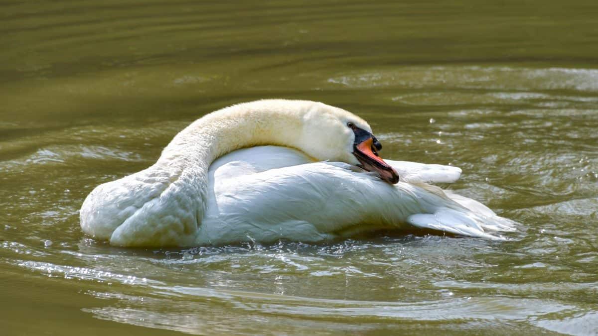 white swan, lake, water, wildlife, bird, animal, outdoor