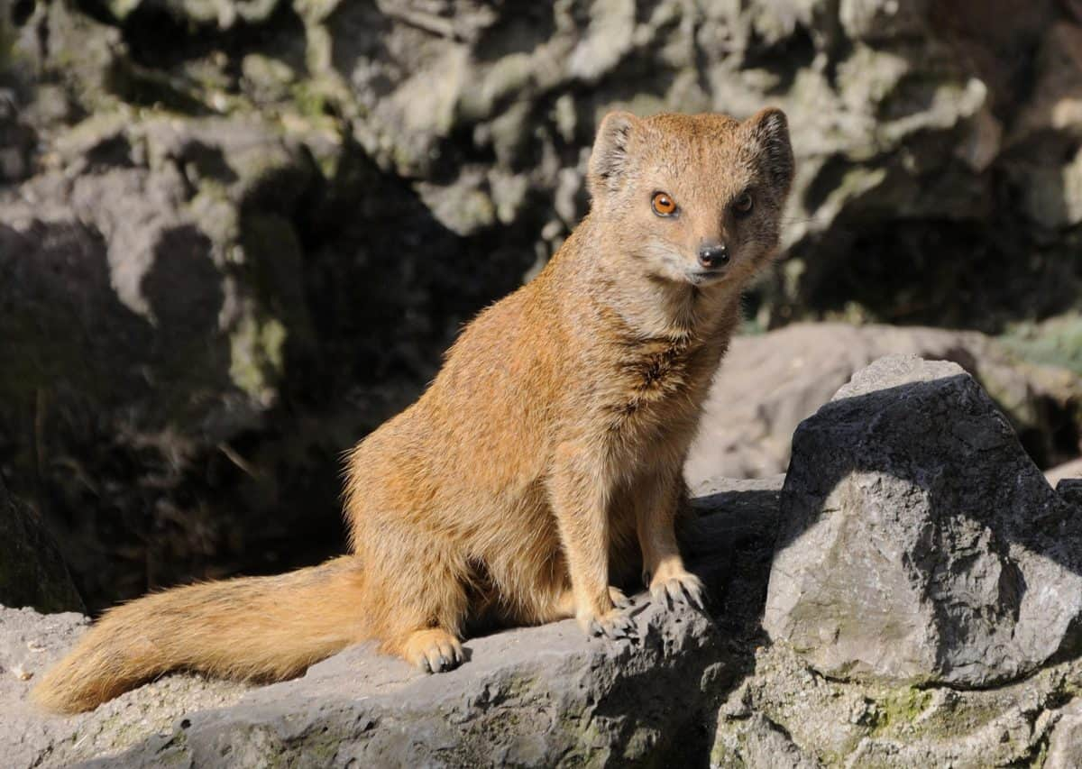 yellow mongoose, predator, wildlife, animal, fur, wild, nature