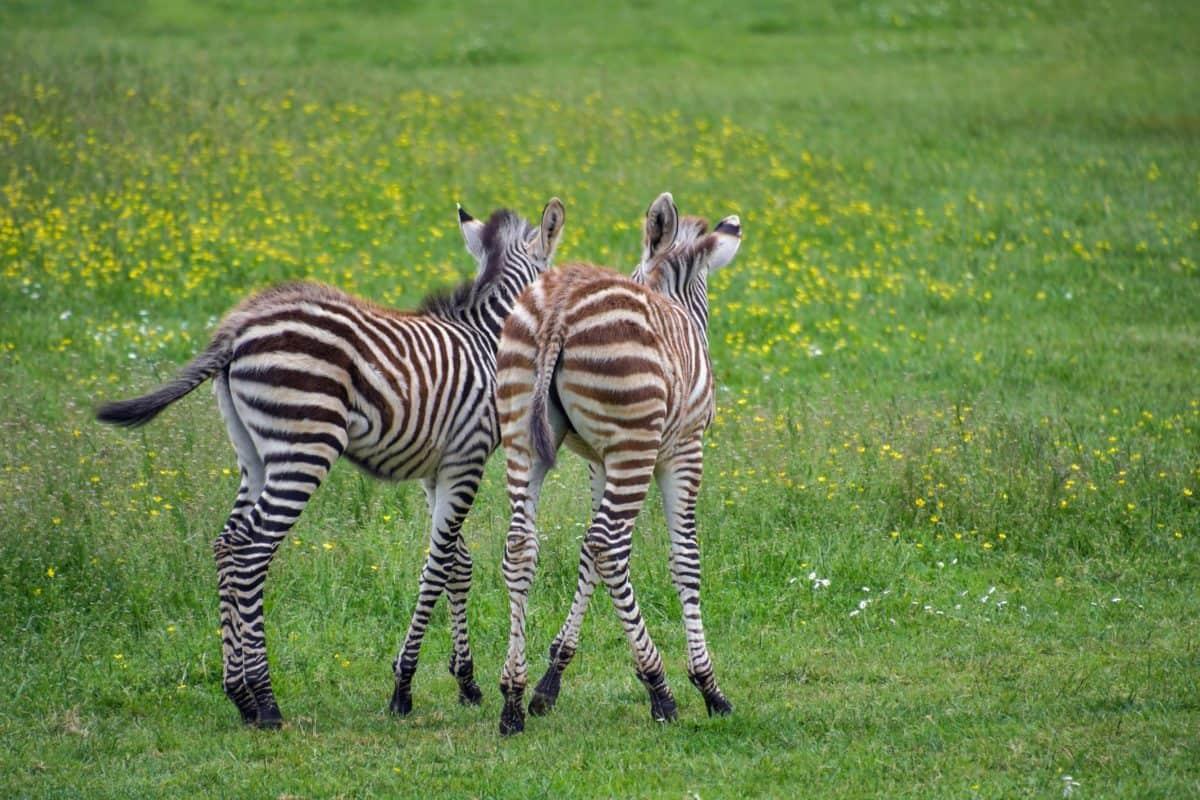 野生动物, 非洲, 狩猎, 斑马, 野生动物园, 野生动物, 条纹, 动物