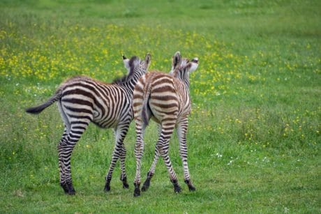 wildlife, Africa, safari, zebra, safari, wild, stripes, animal