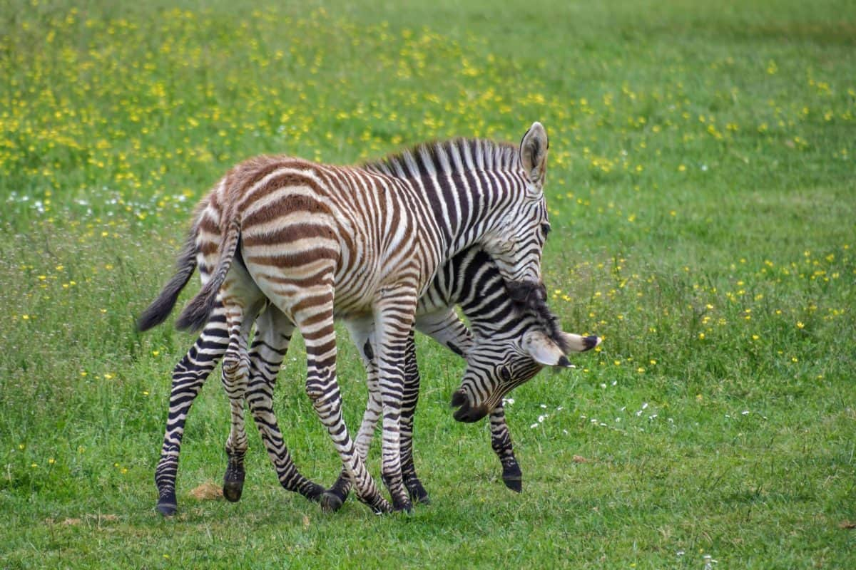 Africa, safari, grass, zebra, outdoor, field, animal