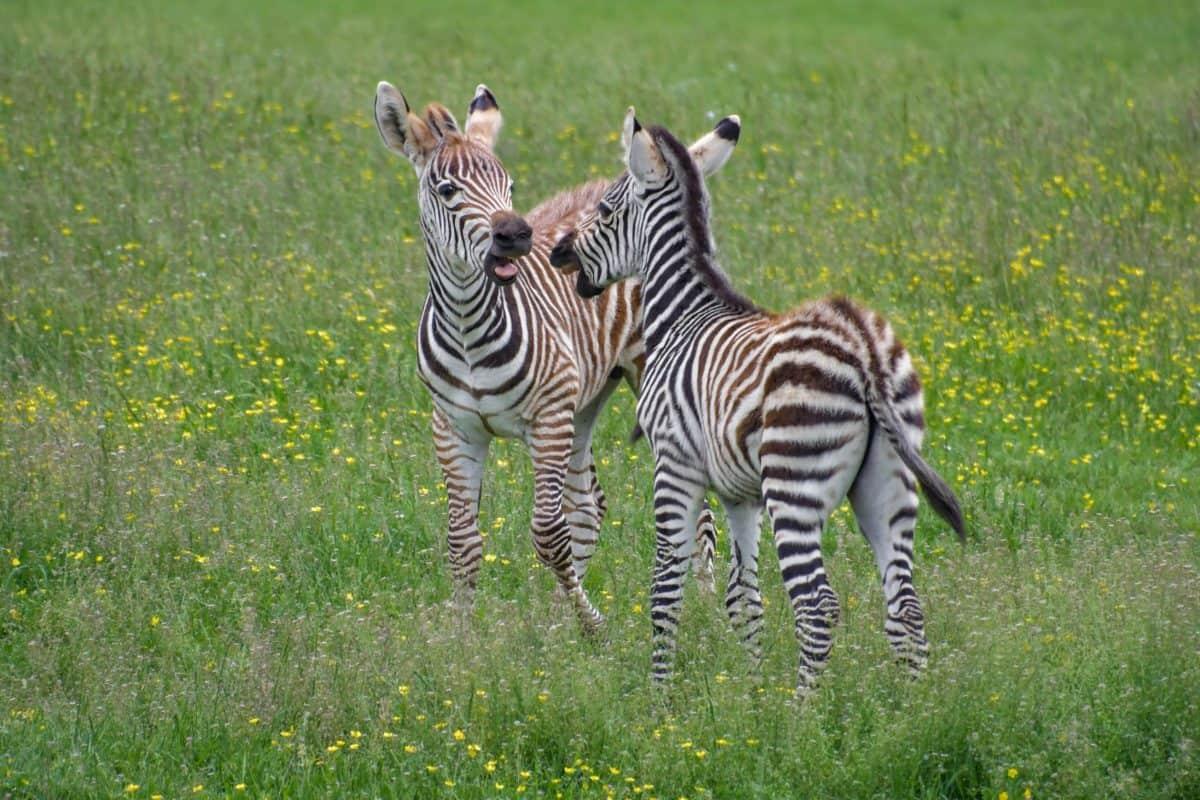 la faune, herbe verte, zèbre, safari, sauvage, animaux, Afrique, safari