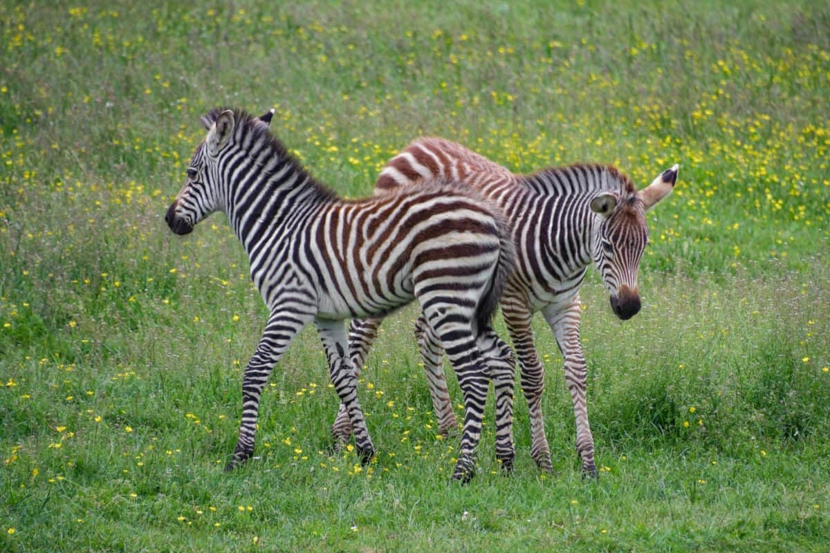 animal, wildlife, grass, zebra, Africa, safari, wild