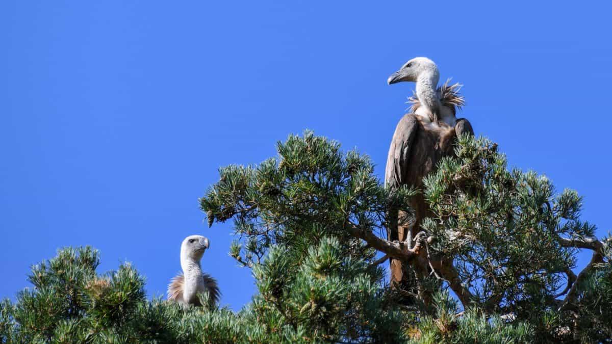 uccello di Condor, natura, cielo blu, fauna selvatica, albero, all'aperto, animale