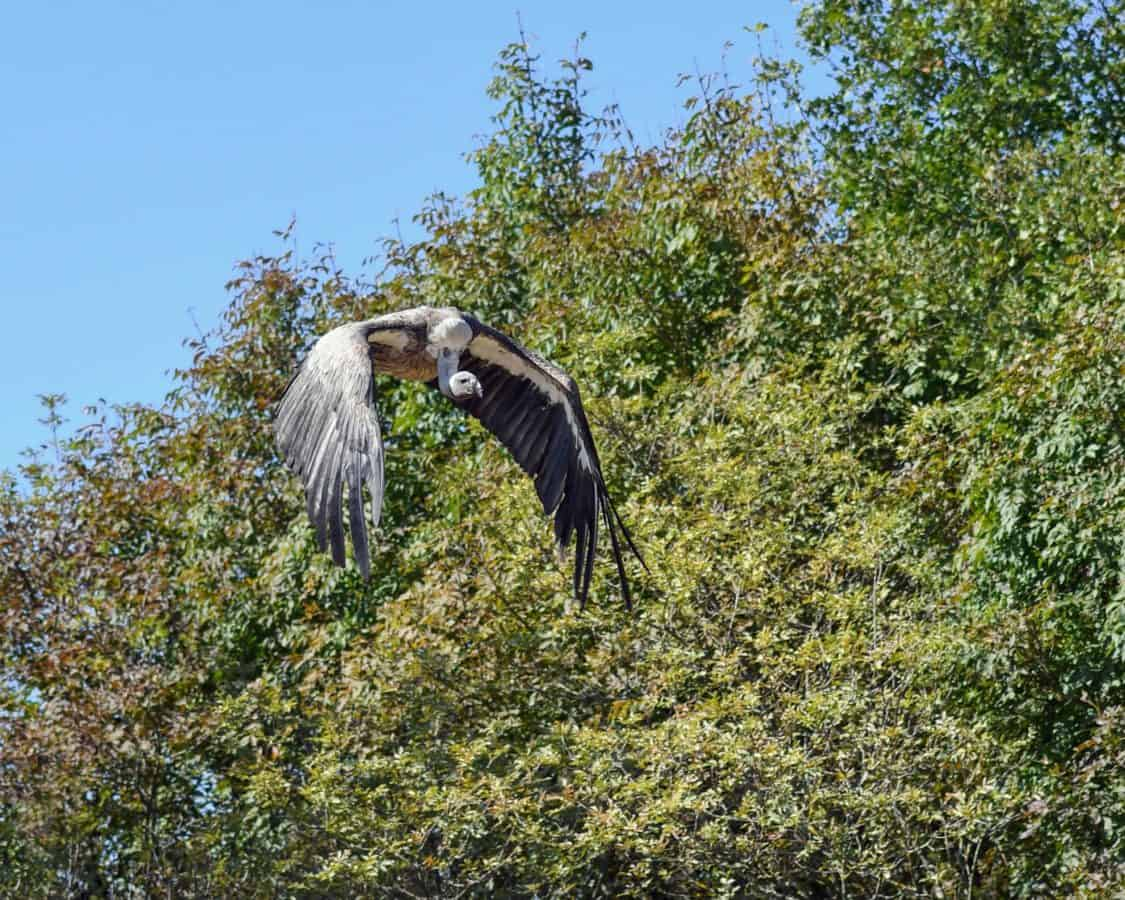 oiseau Condor, vol, faune, nature, arbre, extérieur, animaux