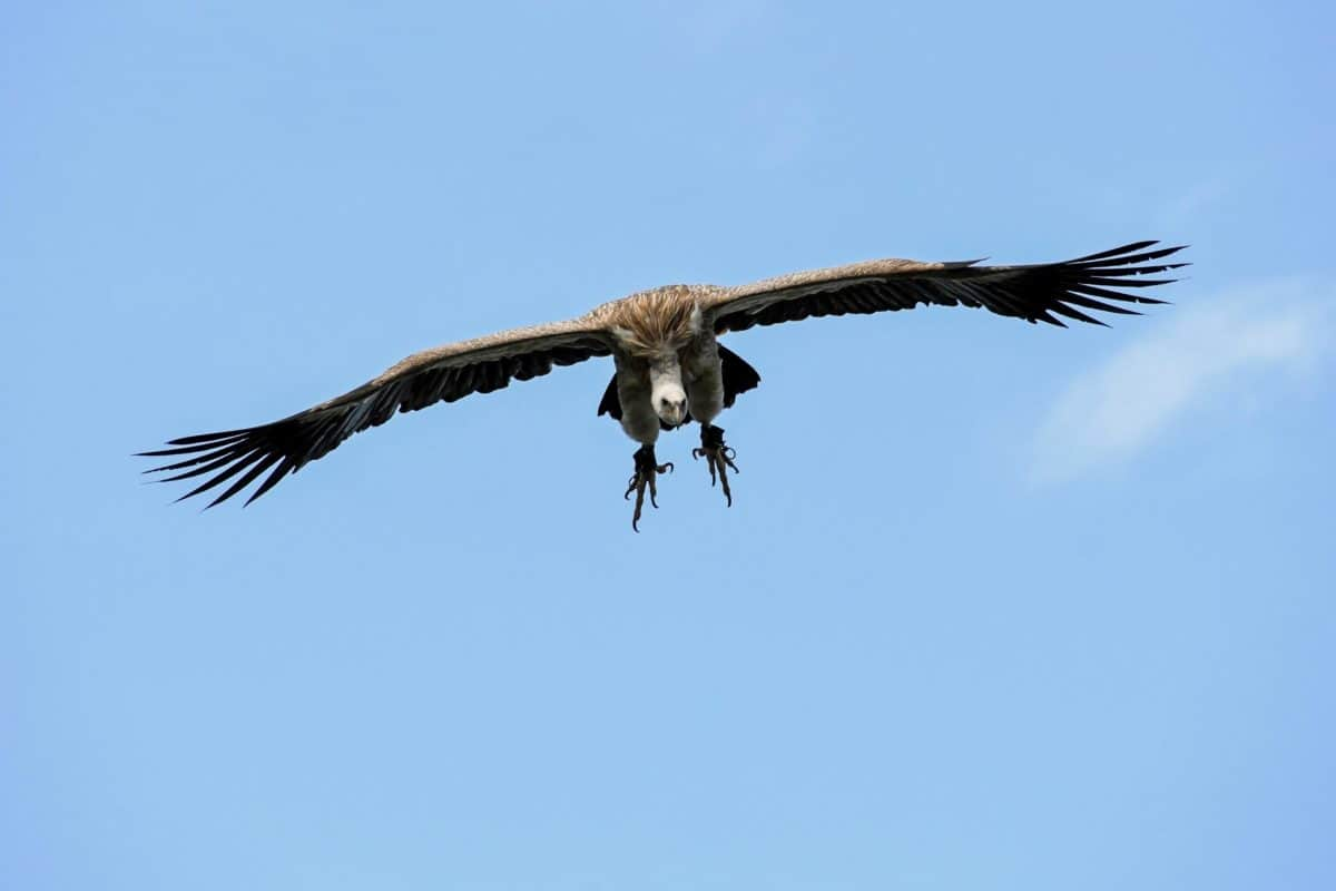 Conodor, Flug, Vogel, Tiere, Tier, Federn, blauer Himmel