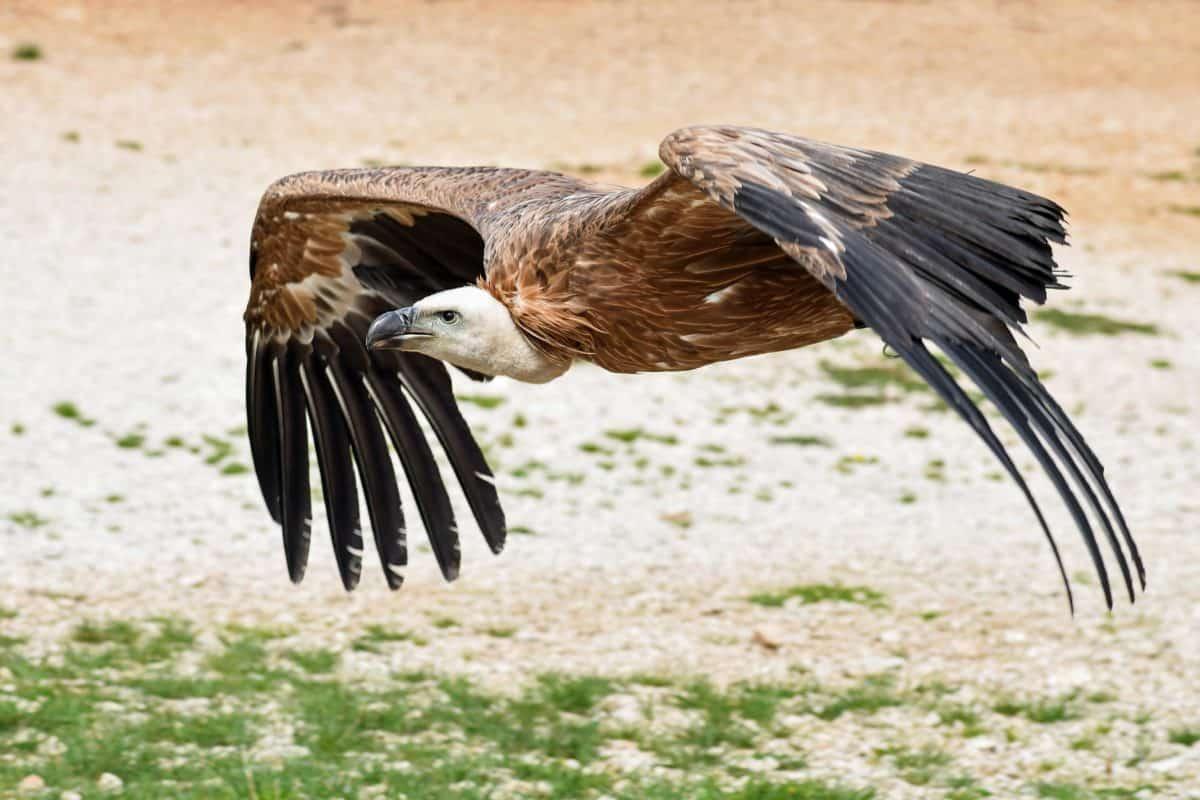 Condor, Flug, Raptor, Tierwelt, Natur, Feder, Vogel, outdoor, gemahlen
