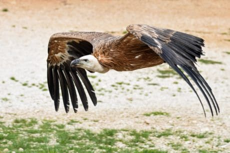 condor, flight, raptor, wildlife, nature, feather, bird, outdoor, ground