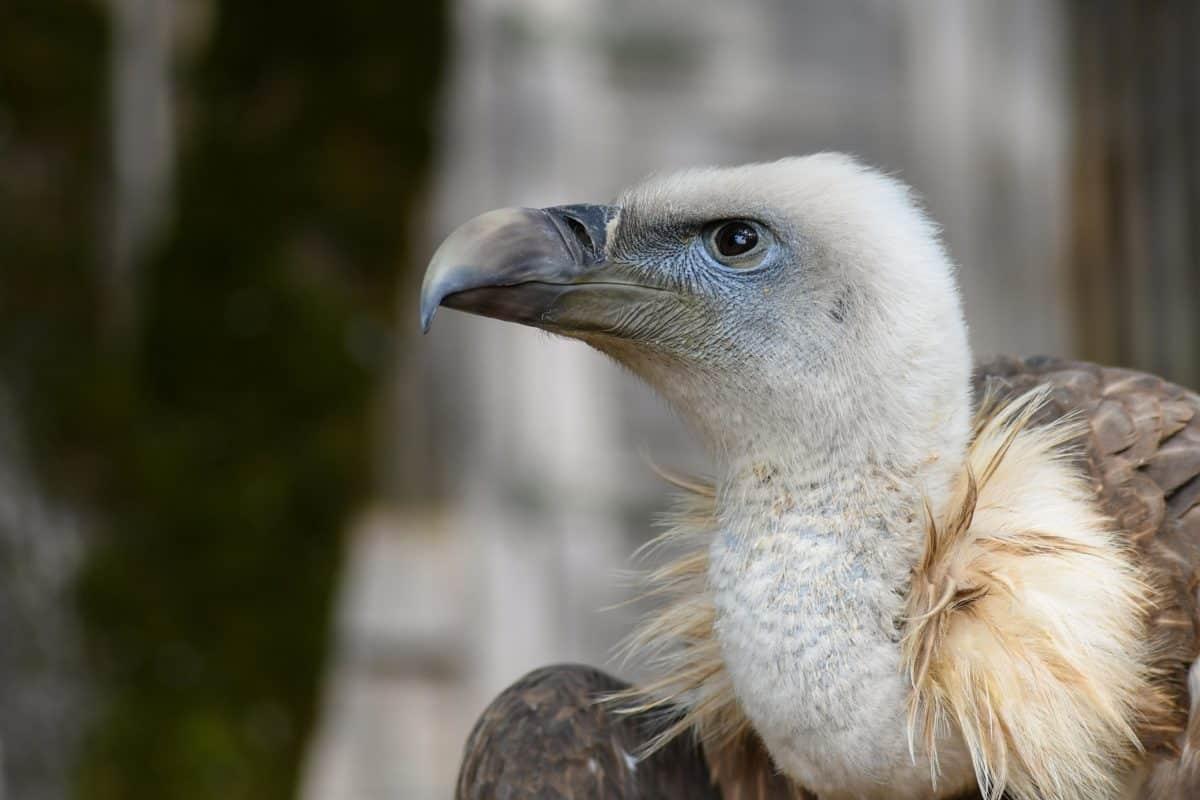 Condor, raptor, natura, uccelli, fauna selvatica, ritratto, becco, animali