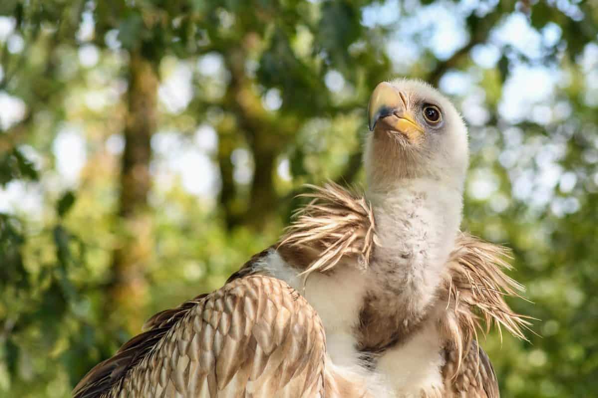 Condor, Raptor, Natur, Vogel, Wildlife, Baum, im Freien, Tier