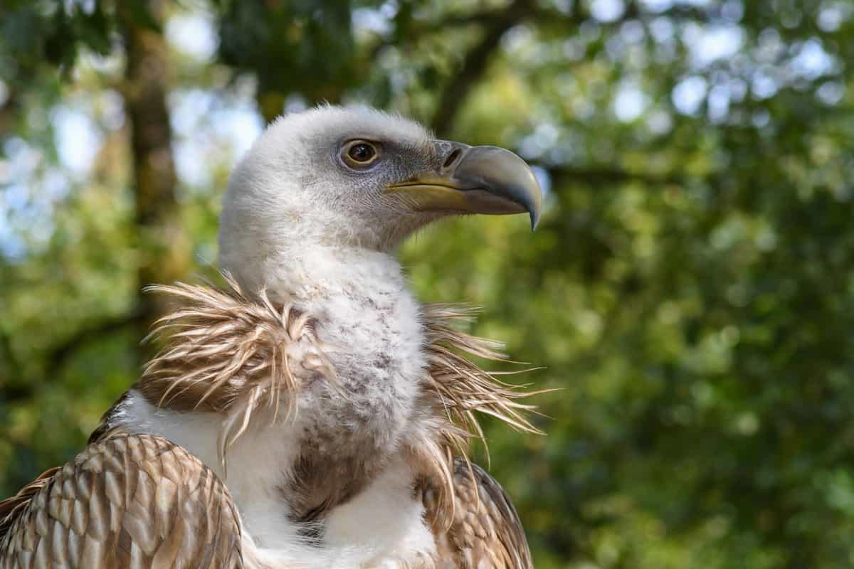 nature, wildlife, wild, raptor, beak, bird, tree, outdoor, condor