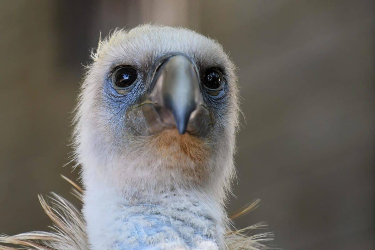 wildlife, condor, head, animal, nature, bird, portrait, beak, eye
