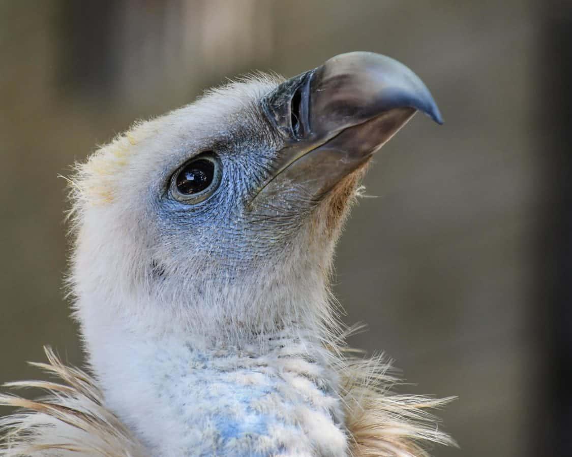 диви, животно, Кондор, клюн, портрет, дивата природа, природа, клюн, птица