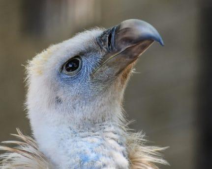 Wild, Tier, Condor, Schnabel, Porträt, Tiere, Natur, Schnabel, Vogel