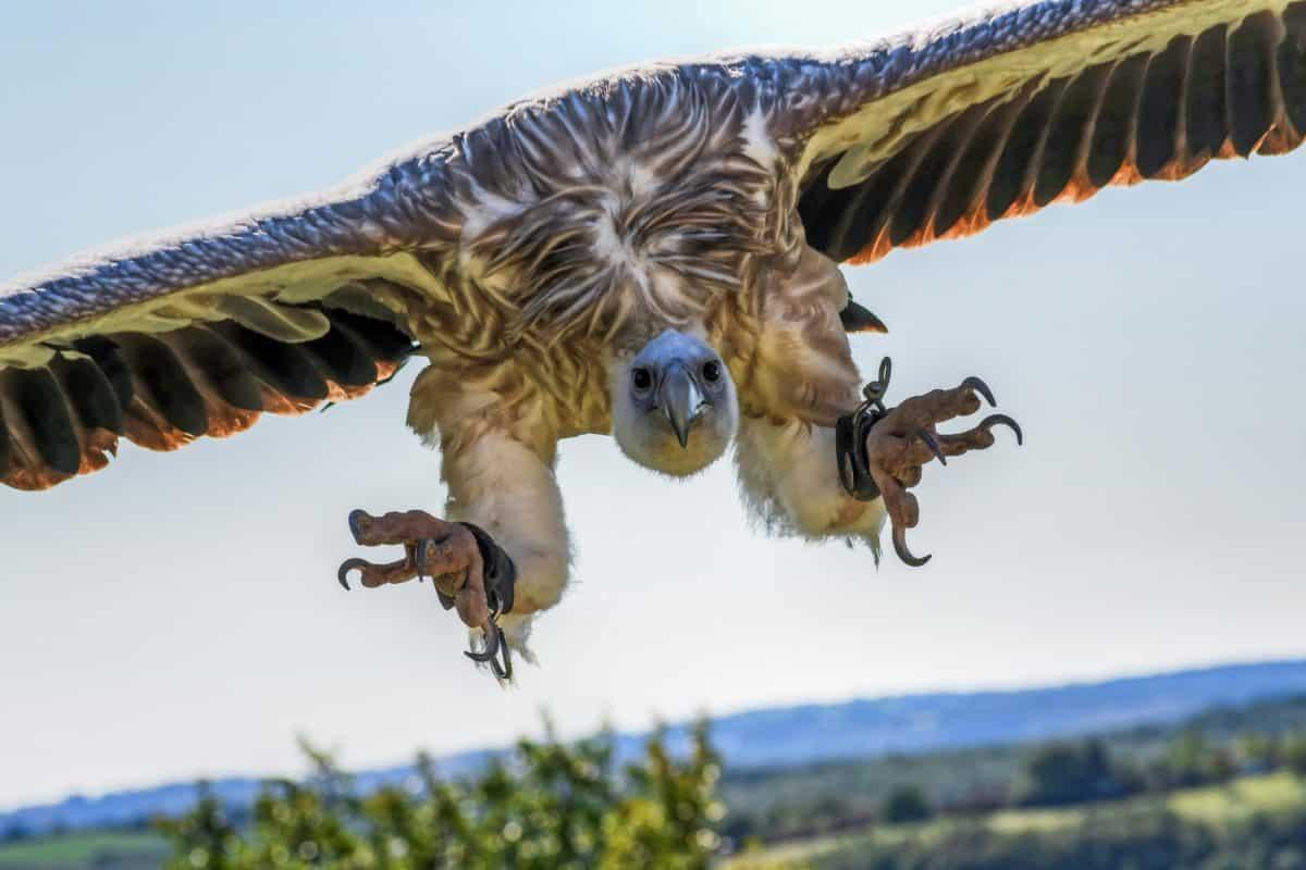 nature, animal, condor, vol, oiseaux, animaux sauvages, ciel bleu, mouche