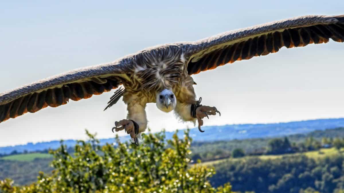 uccello di Condor, animali, cielo blu, all'aperto, luce, natura, volo, ala