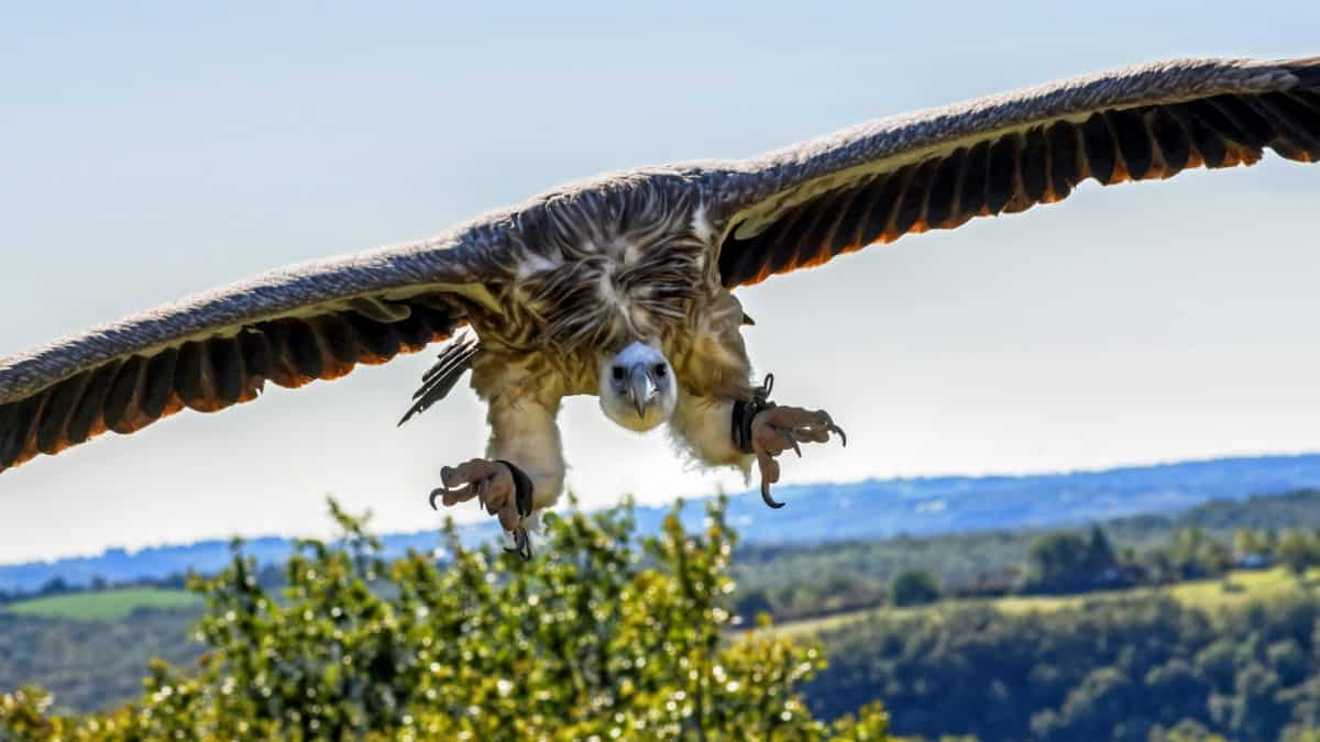 condor bird, animal, blue sky, outdoor, daylight, nature, flight, wing