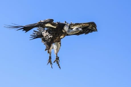 raptor, wildlife, bird, feather, blue sky, flight, wing, condor