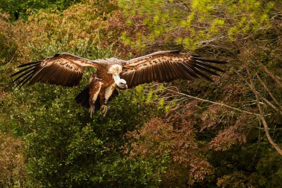 condor, forest, flight, wing, animal, wildlife, nature, bird, wild, raptor