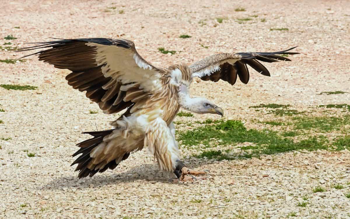 Condor, terra, sabbia, animale, becco, natura, piuma, fauna, uccelli, selvatici, raptor