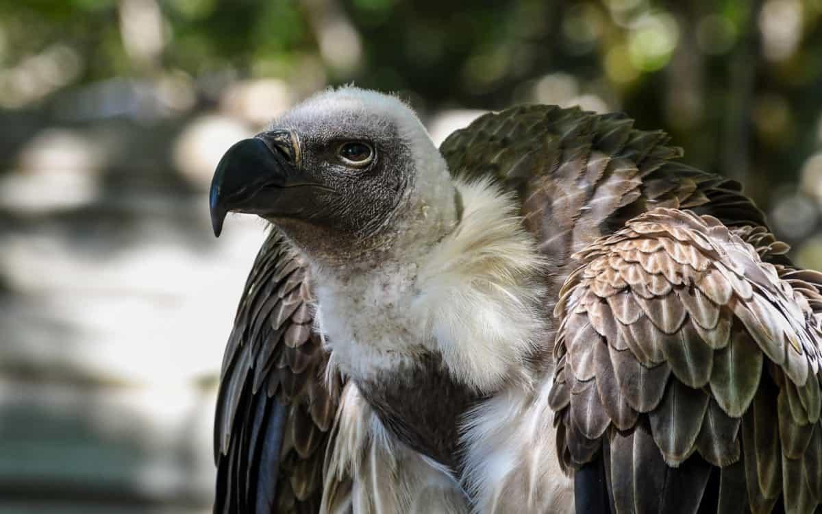 condor, bird, raptor, animal, feather, nature, wildlife, beak