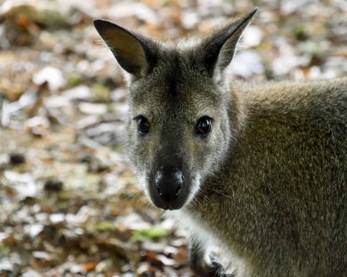 kangaroo, nature, wildlife, wild, animal, mammal