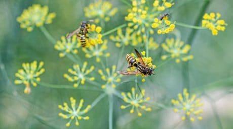 veps, blomst, natur, insekt, plante, dyr
