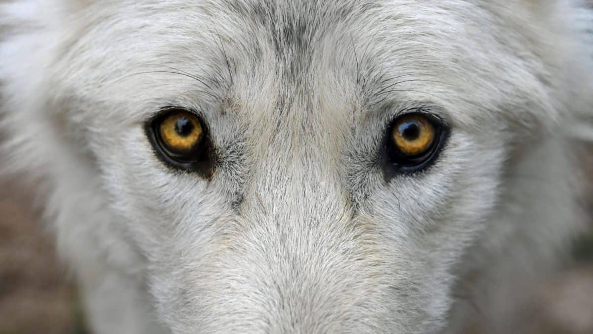 weißer Wolf, Albino, Tier, Porträt, Tiere, Natur, Auge, Kopf