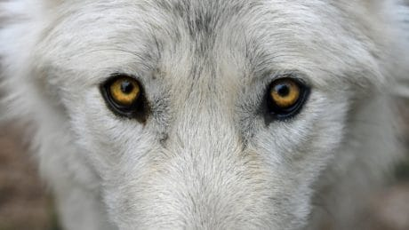 White wolf, albino, animal, portrait, faune, nature, oeil, tête