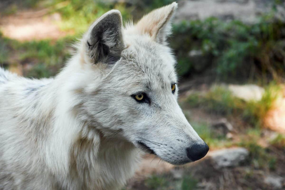 fauna, selvatica, natura, pelliccia, animale lupo bianco, all'aperto