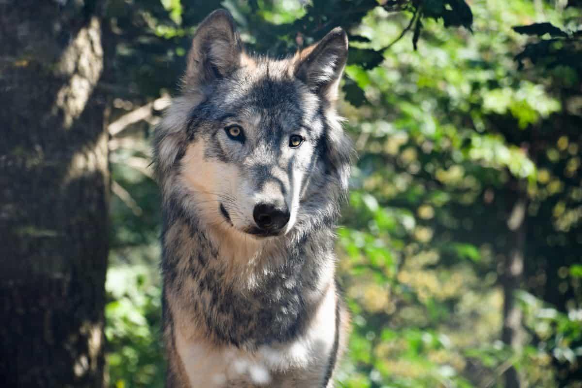 природата, дърво, гора, хищник, вълк, животно, дърво, Открит