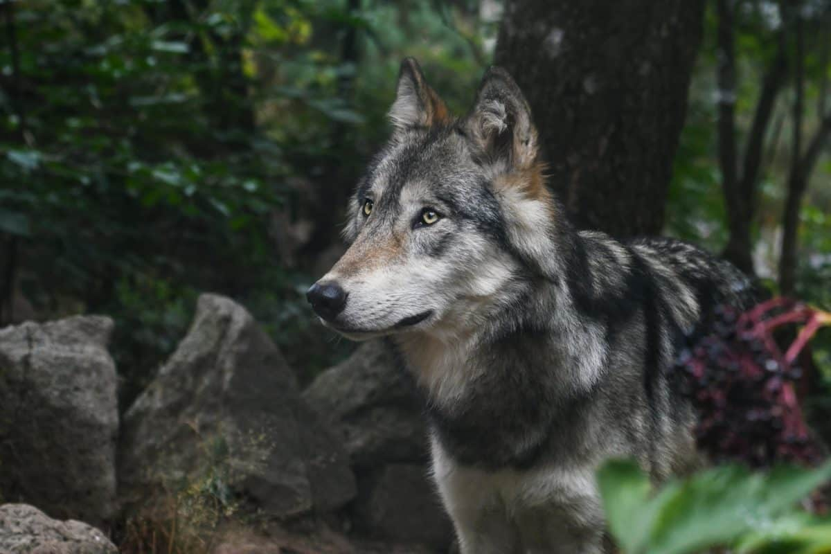 nature, predator, forest wolf, animal, tree, outdoor