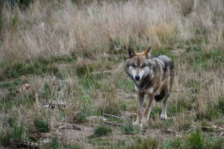 predator, wolf, nature, animal, wildlife, grass, wild