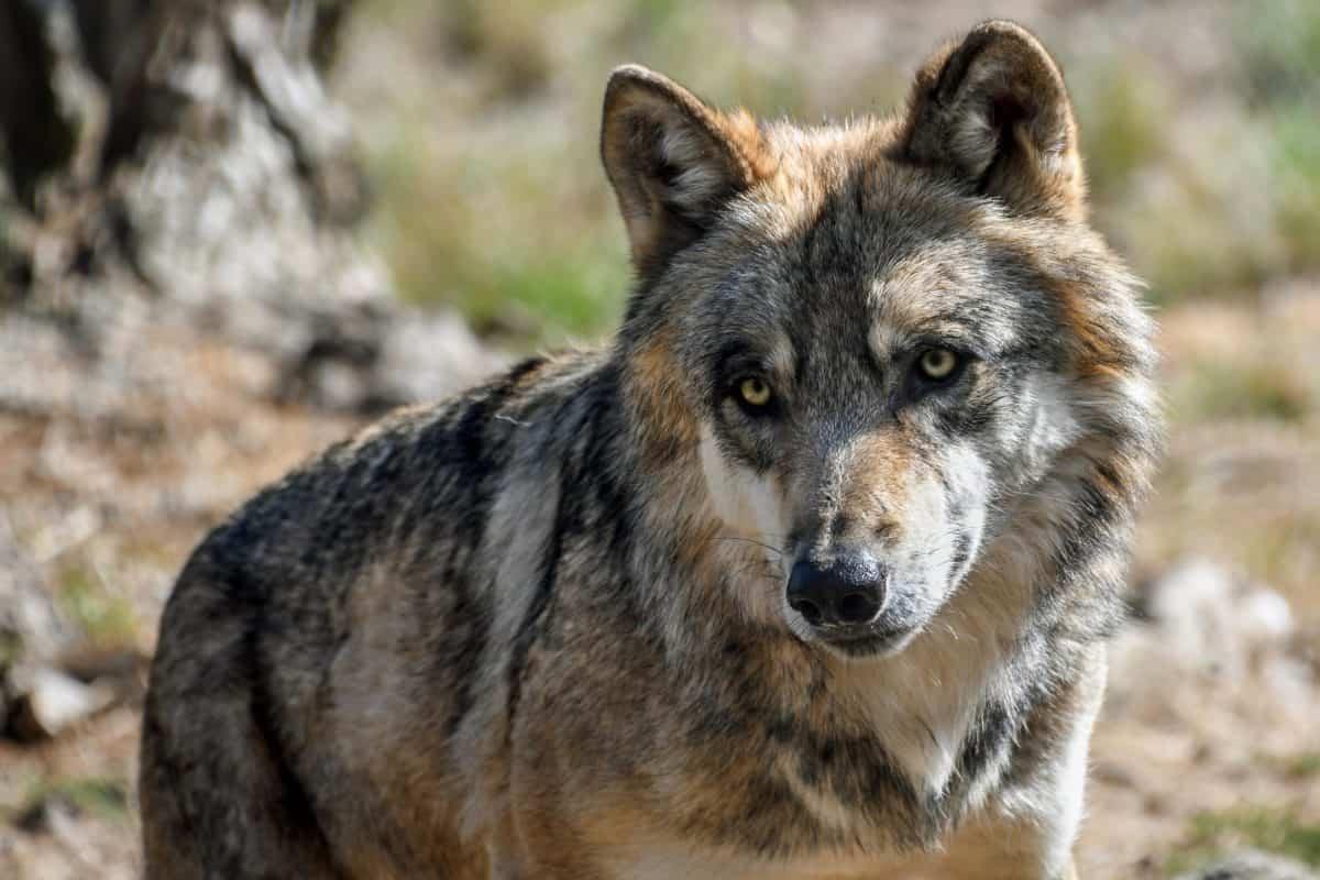 naturaleza salvaje, fauna, animal, depredador, lobo del desierto, piel