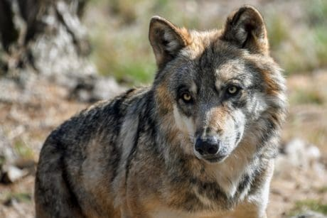 nature, wild, wildlife, animal, predator, desert wolf, fur