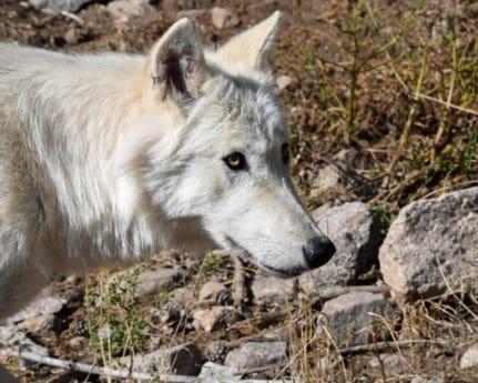 dyr, predator, dyreliv, hvite ulven, natur, portrett, hvit, rovdyr