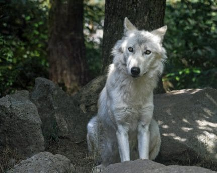 white wolf, forest, nature, tree, animal, outdoor, carnivore