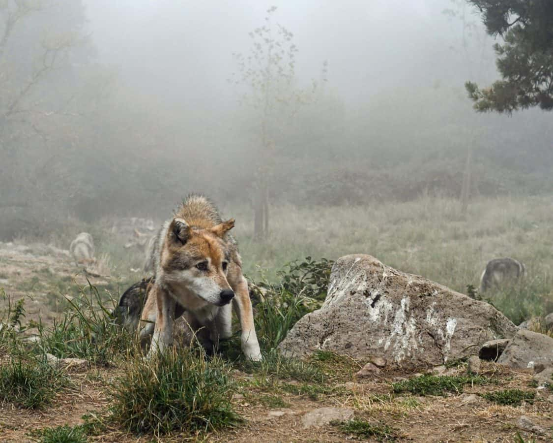grass, nature, wild, wildlife, outdoor, tree, wolf, animal, fog, carnivore
