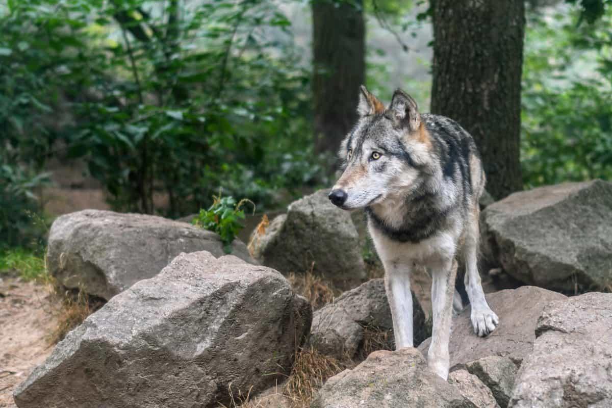 la faune, sauvage, forêt, loup, nature, fourrure, animal, Pierre, carnivore