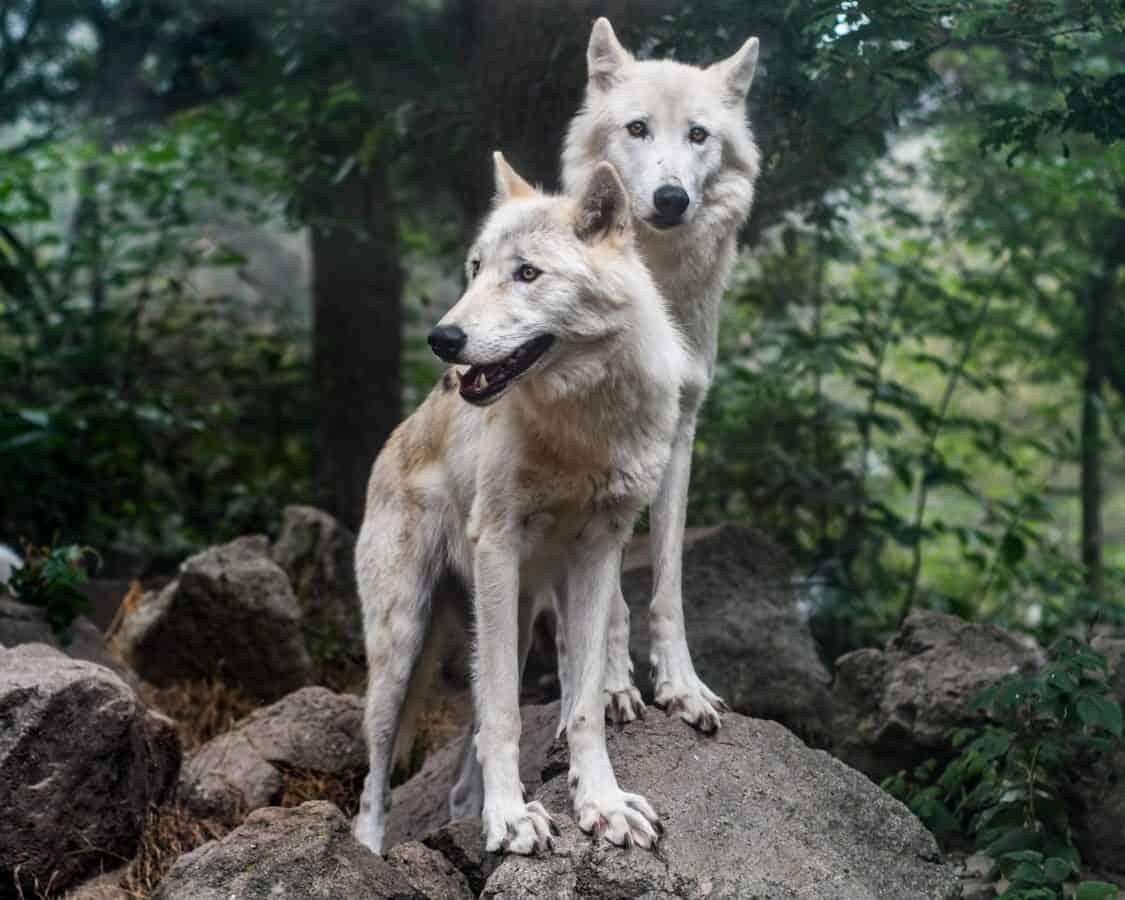 вълк пакет, дивата природа, диви, горски вълк, природа, кожа, животно, кучешки