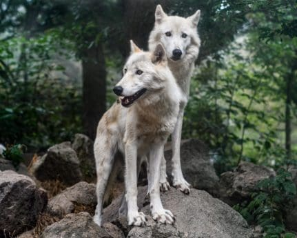 wolf pack, wildlife, wild, forest wolf, nature, fur, animal, canine