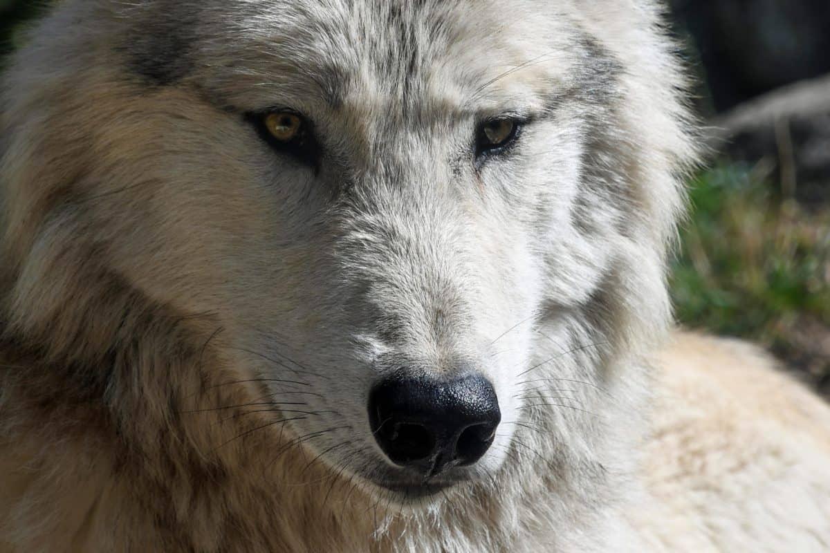 tête, loup blanc, blanc, animal, oeil, prédateur, carnivore